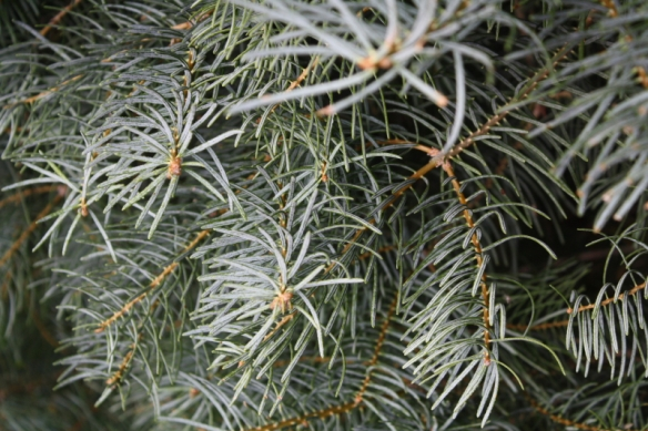 """Swiss Silver"" Strain of the Concolor Fir"