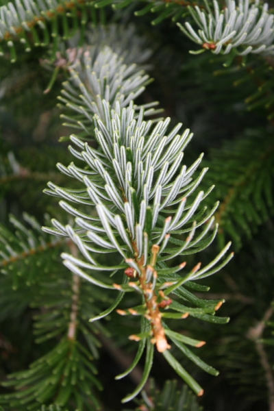 The Silvery Underside of the Normandy Fir