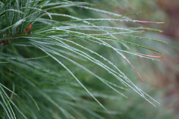 Long, Lush White Pine Needles