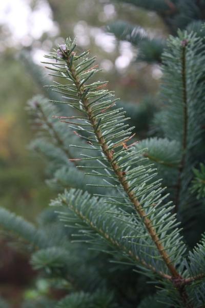 The Bluish-Green Tint of Canaan Fir