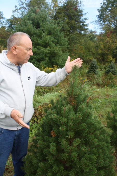 Michael Breighner talks about the relatively quick growth of a Scotch Pine