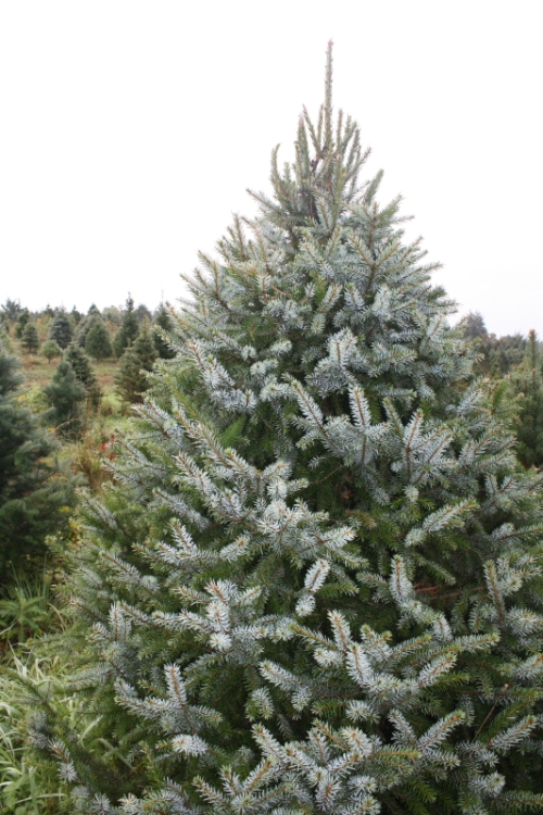 The Serbian Spruce is characterized by patches of silvery and dark green needles