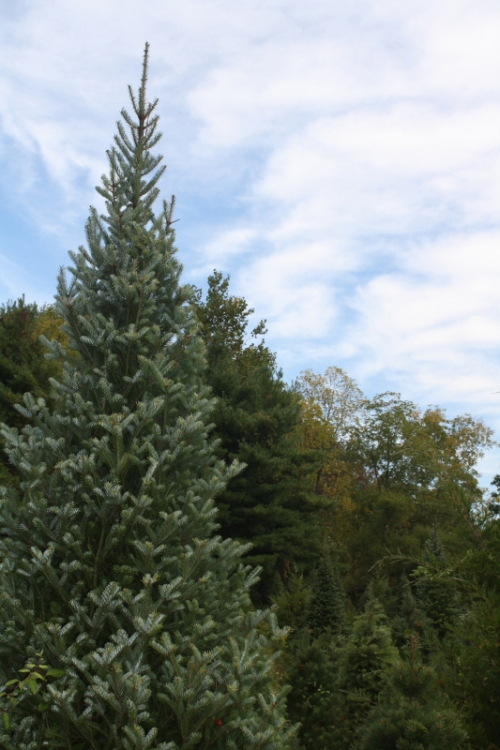 Dark blue-green Canaan Fir