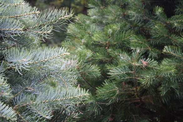Side-by-Side: Comparing the Swiss Silver Strain of the Concolor Fir (left) to the standard Concolor Fir (right)