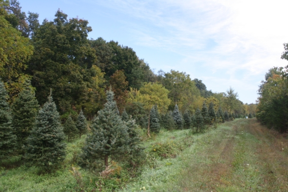 Christmas tree varieties are mixed throughout Gettysburg Tree Farm's 33 acres