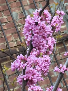 Redbuds on red bricks, NYC's Highline