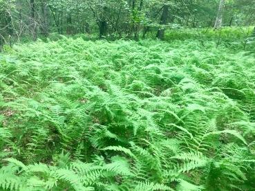 Ferns along the A.T.